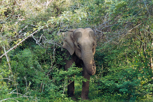 Elefant im Yala Nationalpark